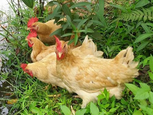 康地恩浅析鸡免疫失败的原因及预防措施