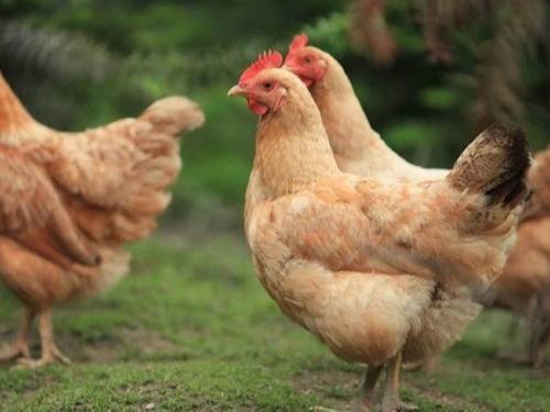 不明原因的鸡呼吸道疾病防治分析
