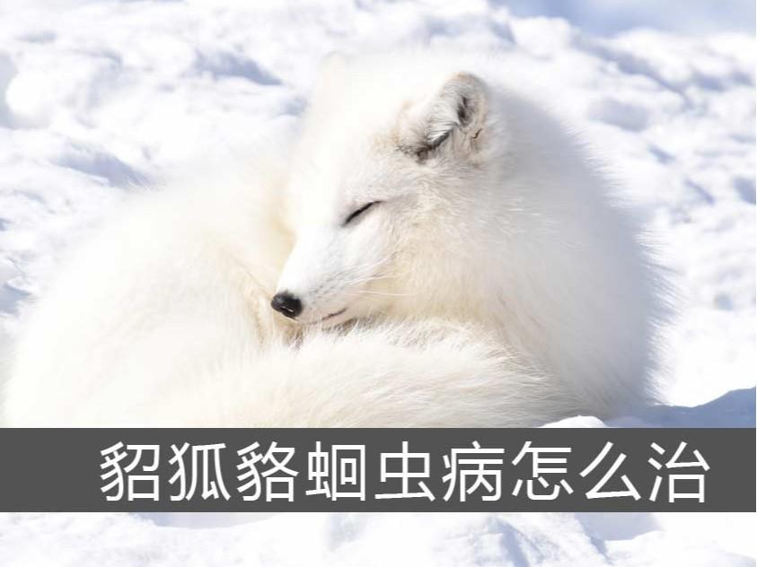 貂狐貉蛔虫病怎么治?【康地恩特养】