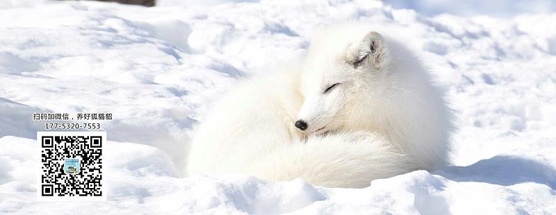 貂、狐狸、貉等毛皮动物生长所需的维生素从哪儿获取?【康地恩养毛皮】
