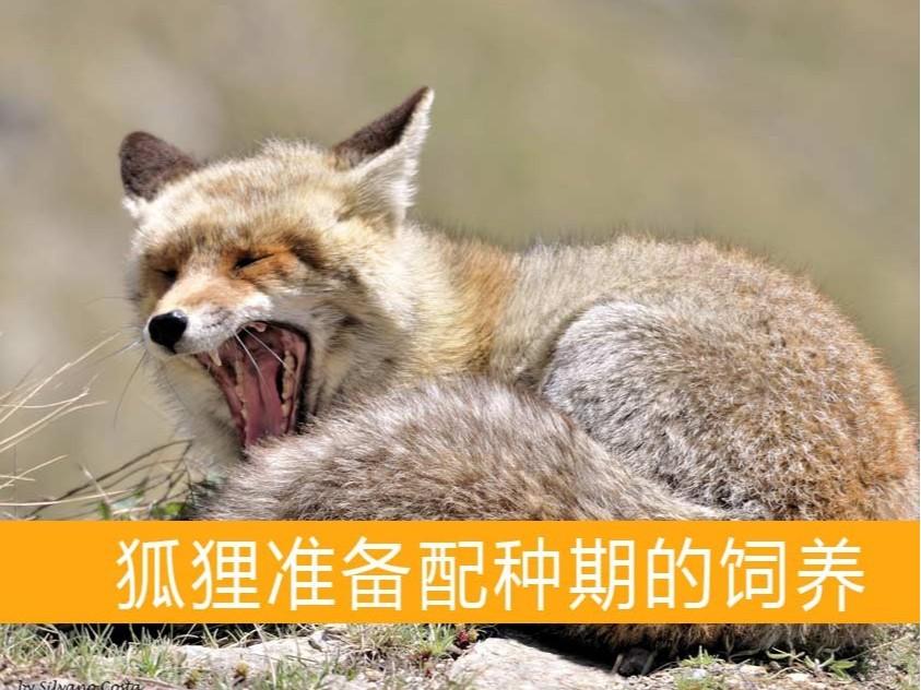 狐狸准备配种期的饲养【康地恩毛皮动物养殖】