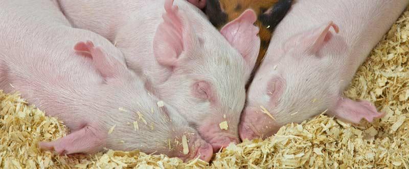 癸氧喹酯溶液在动物球虫病防治上的应用【康地恩疾病防控】
