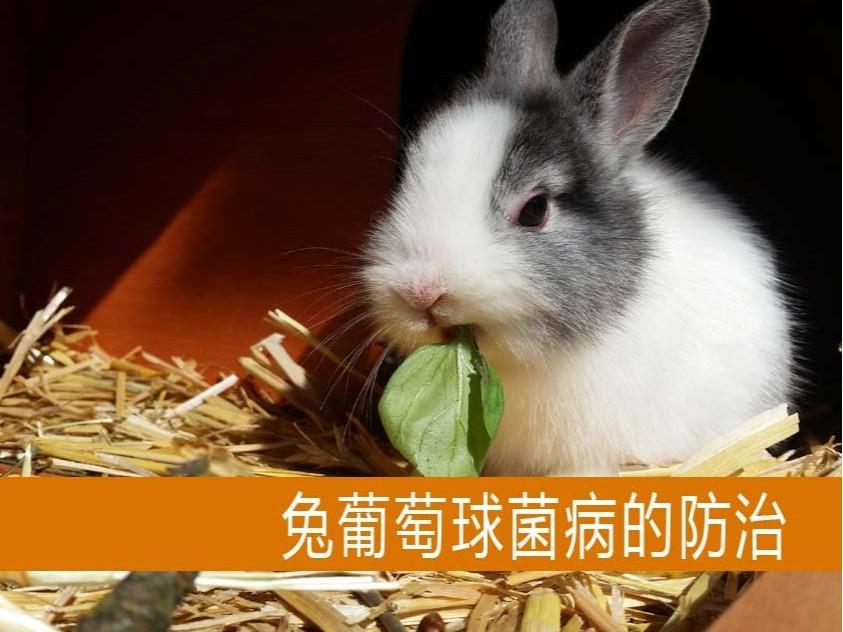 【康地恩-养兔】兔葡萄球菌病的防治