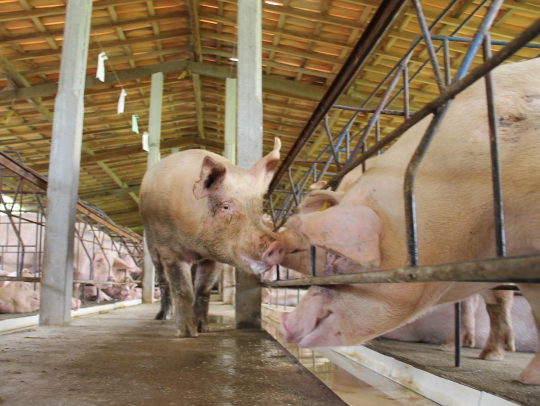 猪药物中毒-青岛康地恩治疗方案