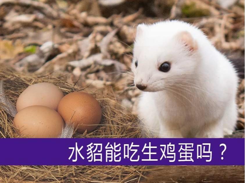 水貂能吃生鸡蛋吗?【康地恩养貂】