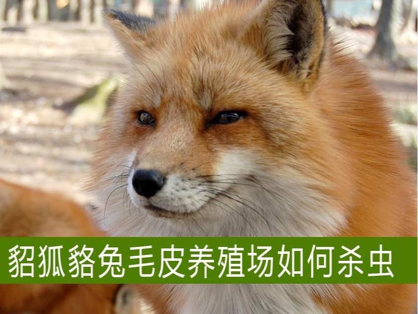 貂狐貉兔等毛皮养殖场如何杀虫?【康地恩特养】