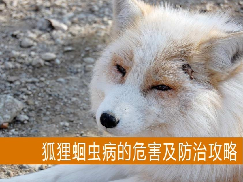 【康地恩养狐】狐狸蛔虫病的危害及防治攻略