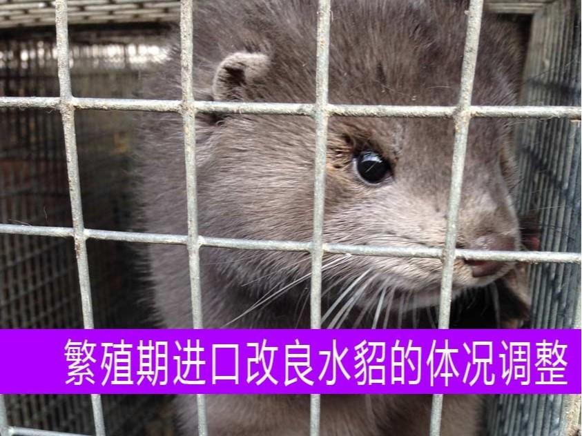 【康地恩养貂】繁殖期进口改良水貂的体况调整