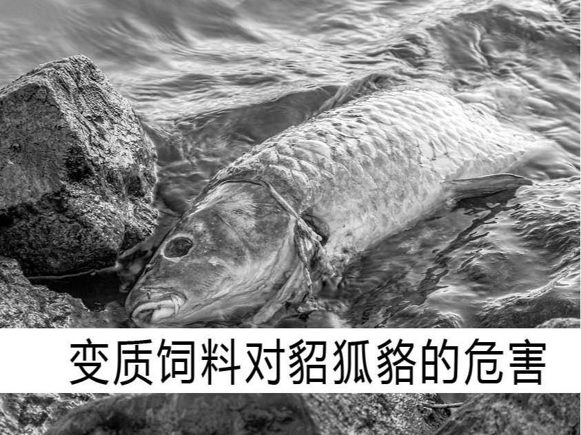 变质饲料对貂狐貉的危害【康地恩毛皮饲养】