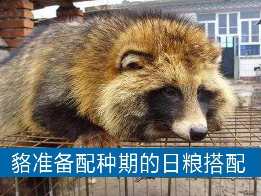 貉准备配种期的日粮搭配【康地恩毛皮动物药厂家】