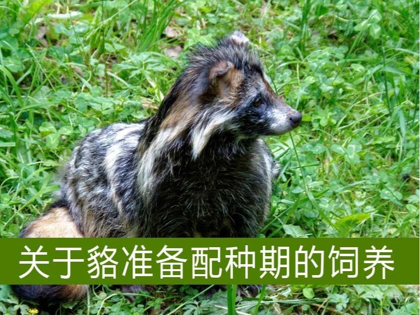 关于貉准备配种期的饲养【康地恩毛皮动物养殖】