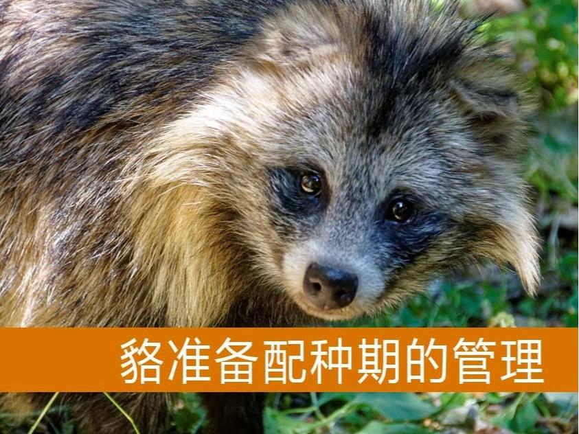 貉准备配种期的管理【康地恩毛皮动物养殖】