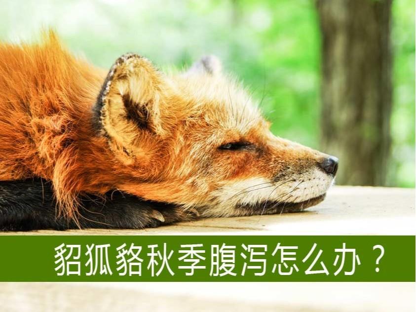 貂狐貉等毛皮动物秋季腹泻怎么办?【康地恩特养】