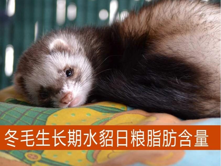 冬毛生长期水貂日粮脂肪含量多少适宜?【康地恩养貂】