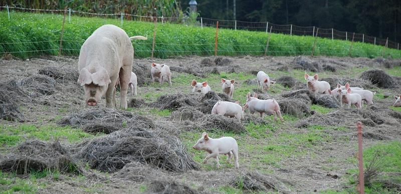 青岛康地恩对猪支原体肺炎的解析及防控