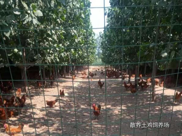 散养土鸡饲养场