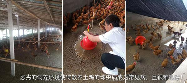恶劣的饲养环境使得散养土鸡的球虫病成为常见病,且很难根除