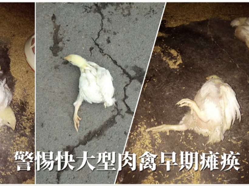 快大型肉禽早期缺硒性瘫痪怎么办?【康地恩养殖】