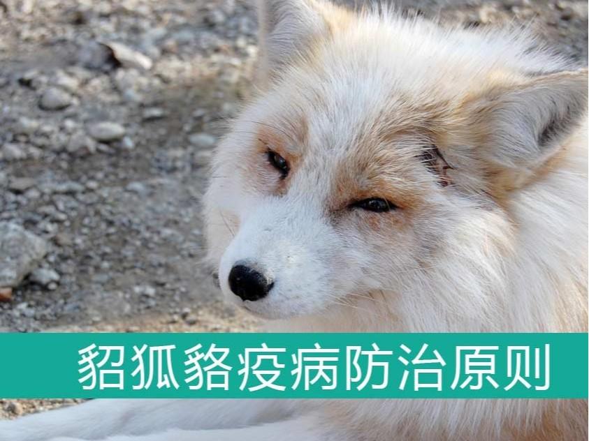 貂、狐、貉疫病防治的基本原则【康地恩特养】
