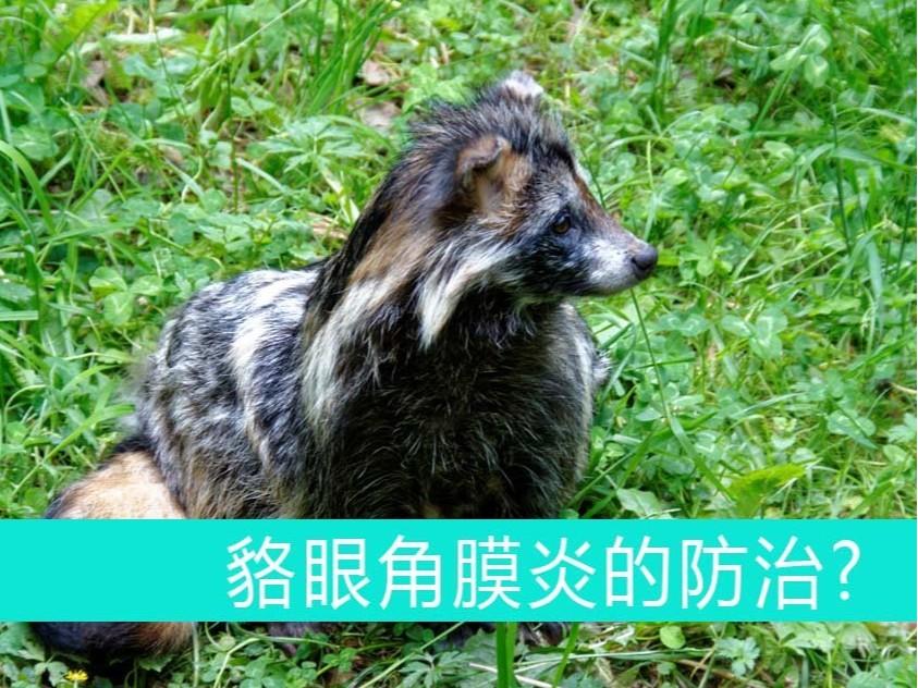 貉眼角膜炎的防治【康地恩——毛皮动物药厂家】