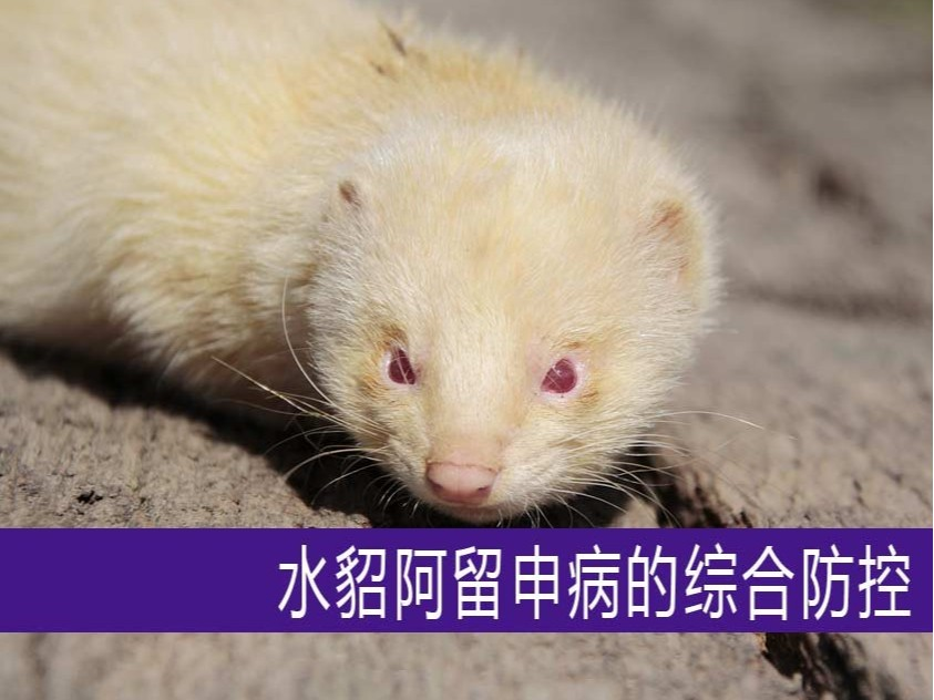 【康地恩养貂】水貂阿留申病的综合防控