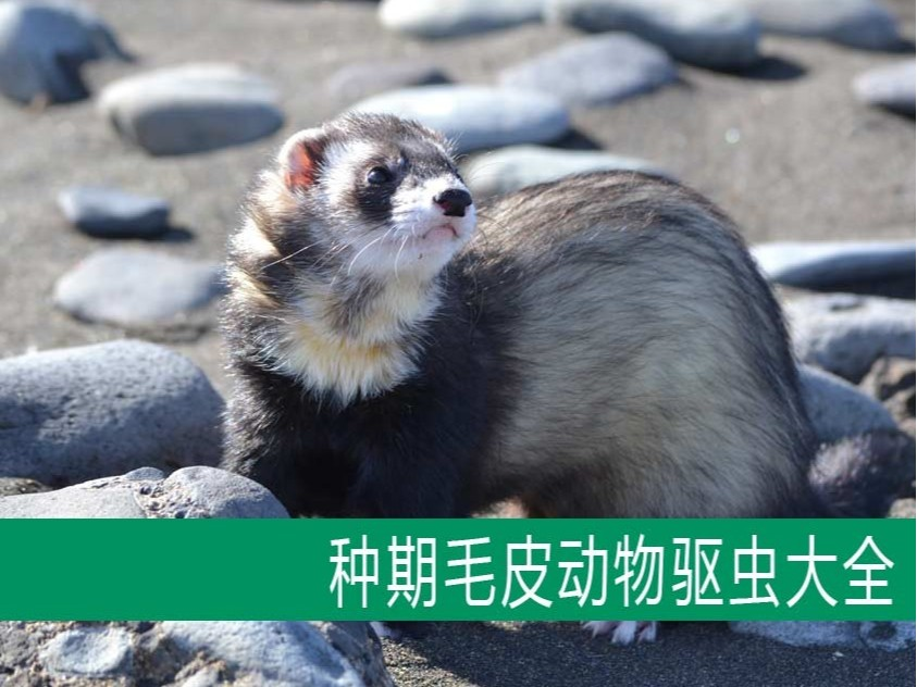 【康地恩毛皮饲养】种期毛皮动物驱虫大全