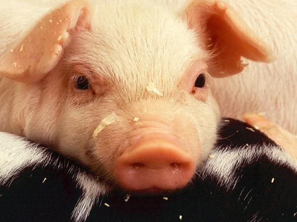 猪场驱虫方案