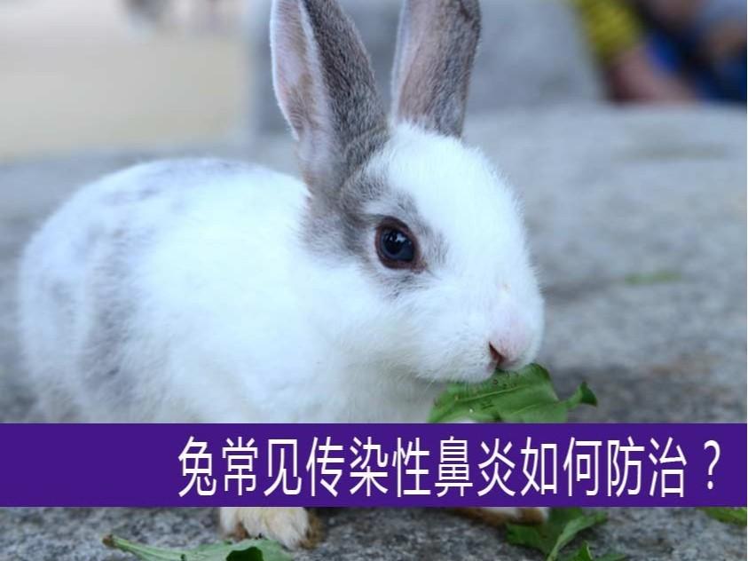 【康地恩-养兔】兔常见传染性鼻炎如何防治?
