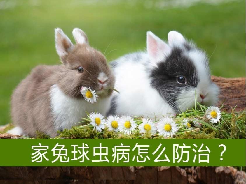 家兔球虫病怎么防治?【康地恩特养】