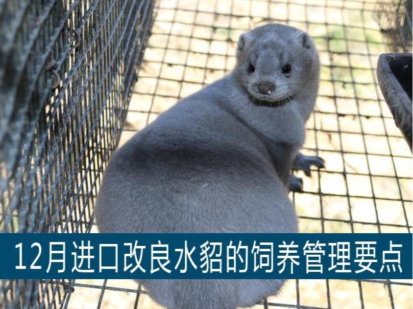 【康地恩养貂】12月进口改良水貂的饲养管理要点
