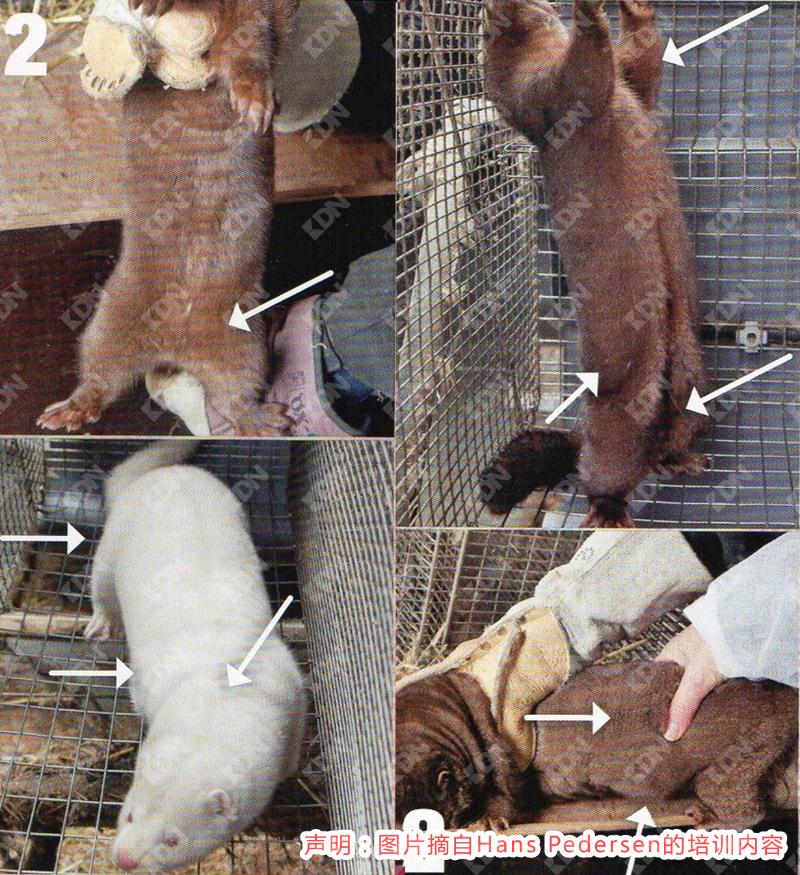摘自Hans Pedersen改良水貂的饲养管理要点-青岛康地恩