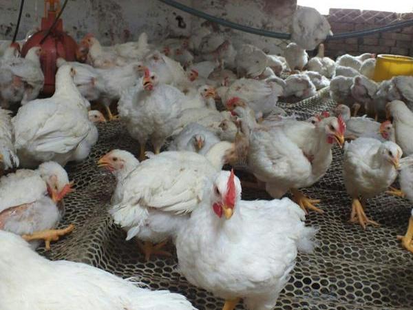 817肉杂鸡饲养管理