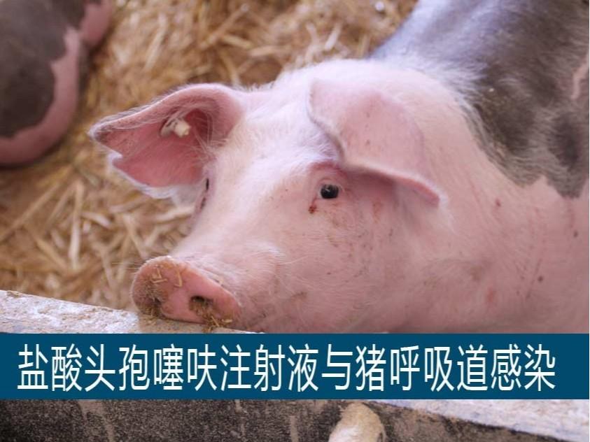 盐酸头孢噻呋注射液在猪呼吸道感染的应用【康地恩养猪】