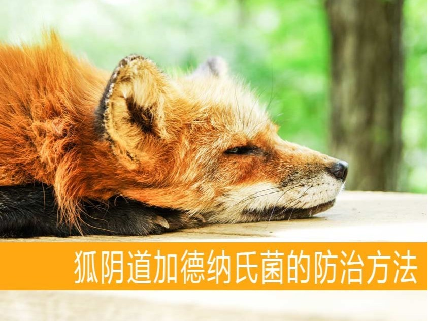 狐阴道加德纳氏菌的防治方法【康地恩特养】