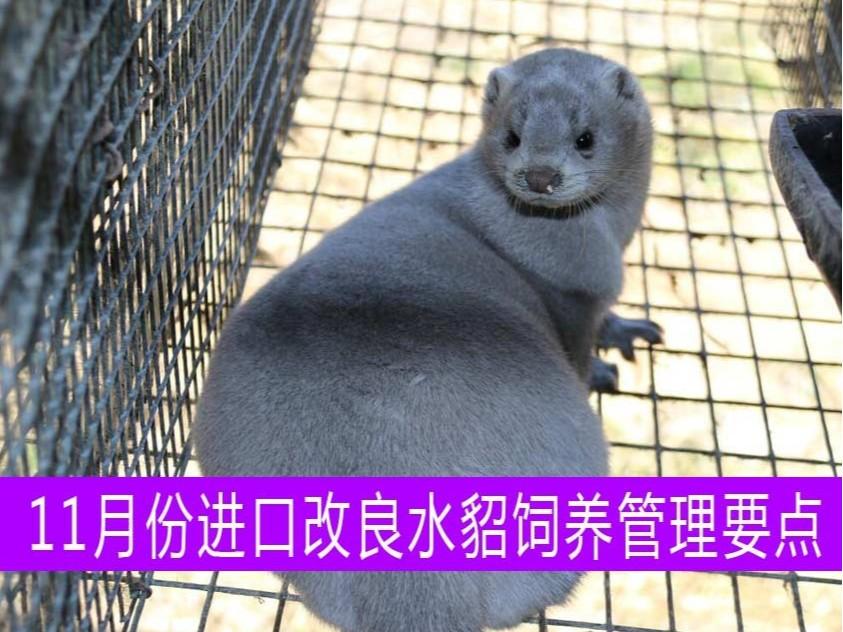【康地恩特养】11月份进口改良水貂饲养管理要点