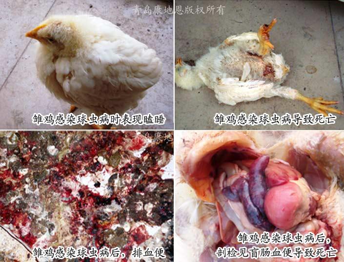 球虫病雏鸡症状-青岛康地恩新兽药