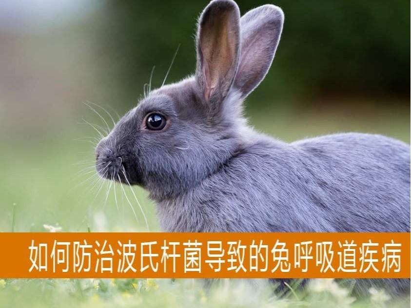 【康地恩-养兔】如何预防因波氏杆菌导致的兔呼吸道疾病