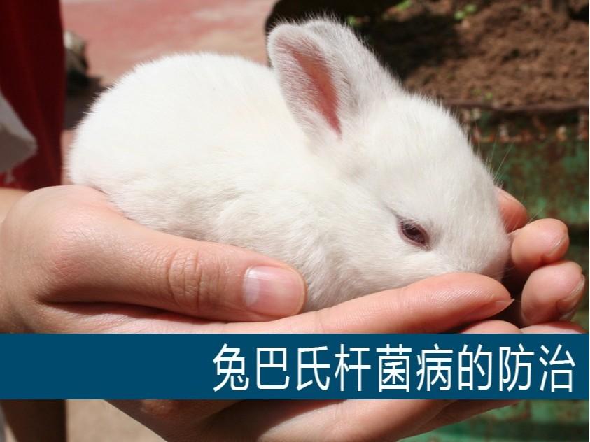 【康地恩-养兔】兔巴氏杆菌病的防治