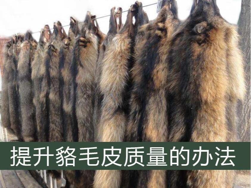 提升皮貉毛皮质量的办法【康地恩养貉】