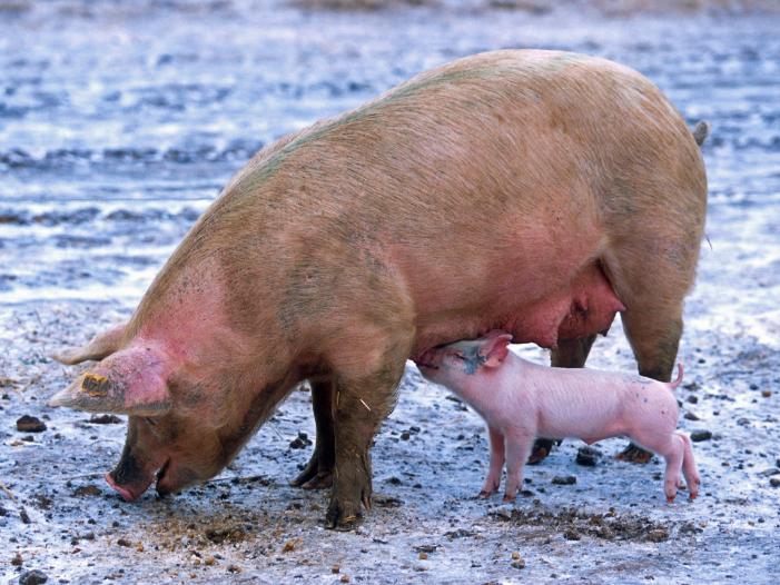 猪瘟,口蹄疫等猪疫病的传播