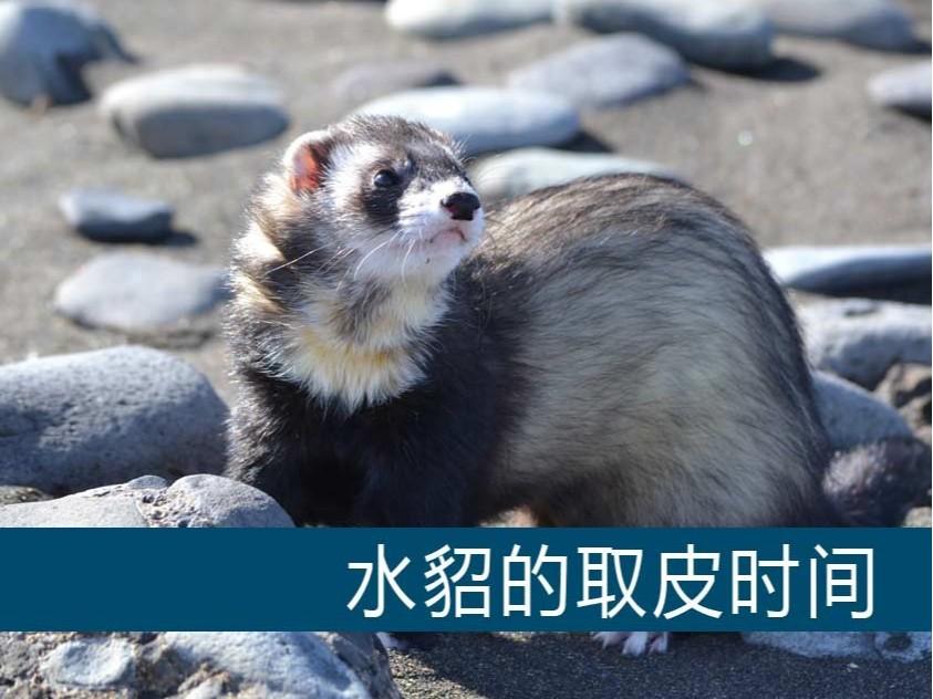 水貂的取皮时间【康地恩毛皮动物养殖】