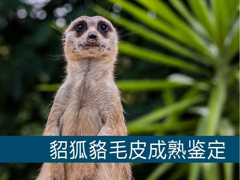 貂狐貉毛皮成熟鉴定【康地恩毛皮动物养殖】