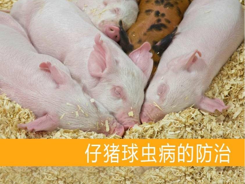 仔猪球虫病的防治【康地恩养猪】