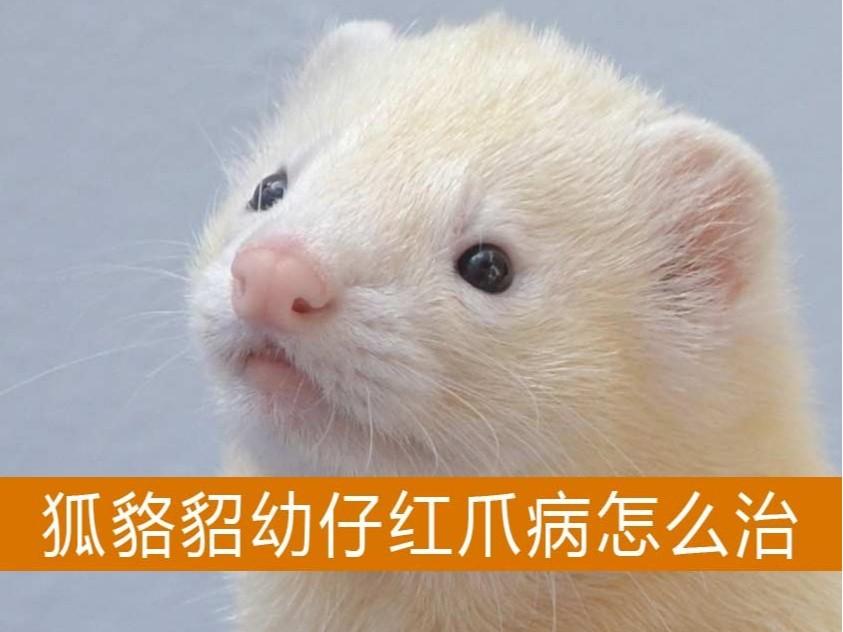 狐貉貂幼仔红爪病怎么治【康地恩特养】