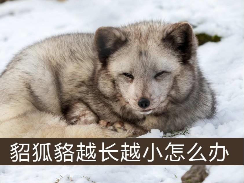 .貂、狐、貉越长越小怎么办【康地恩特养】
