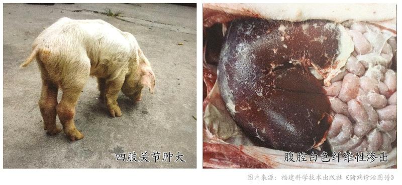 副猪嗜血杆菌病-猪药厂家青岛康地恩