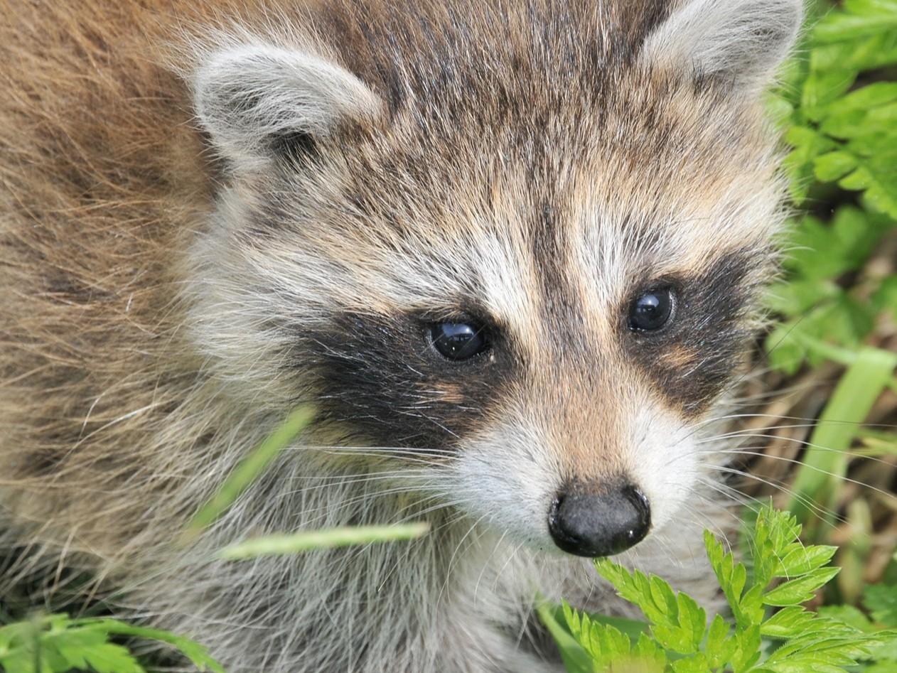 青岛康地恩关于貂、狐、貉的旋毛虫病的防治