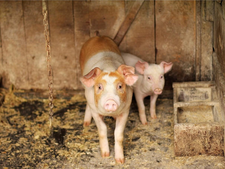【青岛康地恩】猪场消毒十大误区