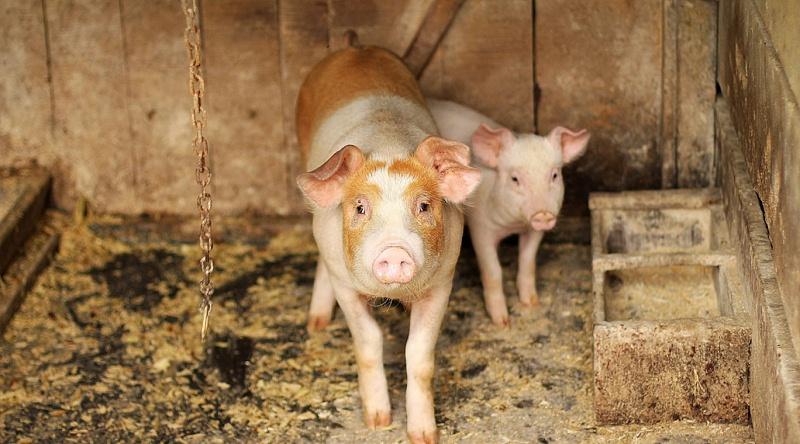 青岛康地恩猪场消毒