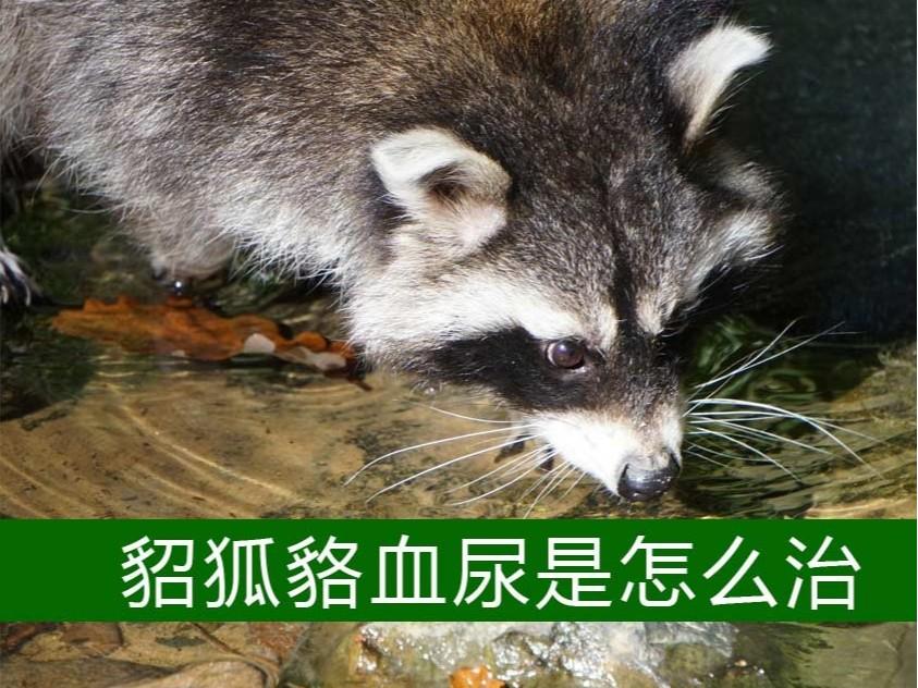 貂狐貉血尿是怎么治?【康地恩特养】